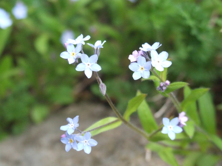 jpeg forget me not flowers