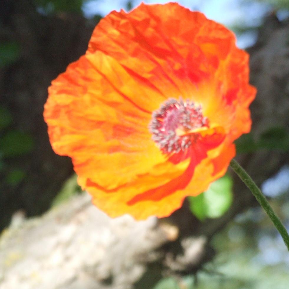 poppy jpeg Orange Poppy