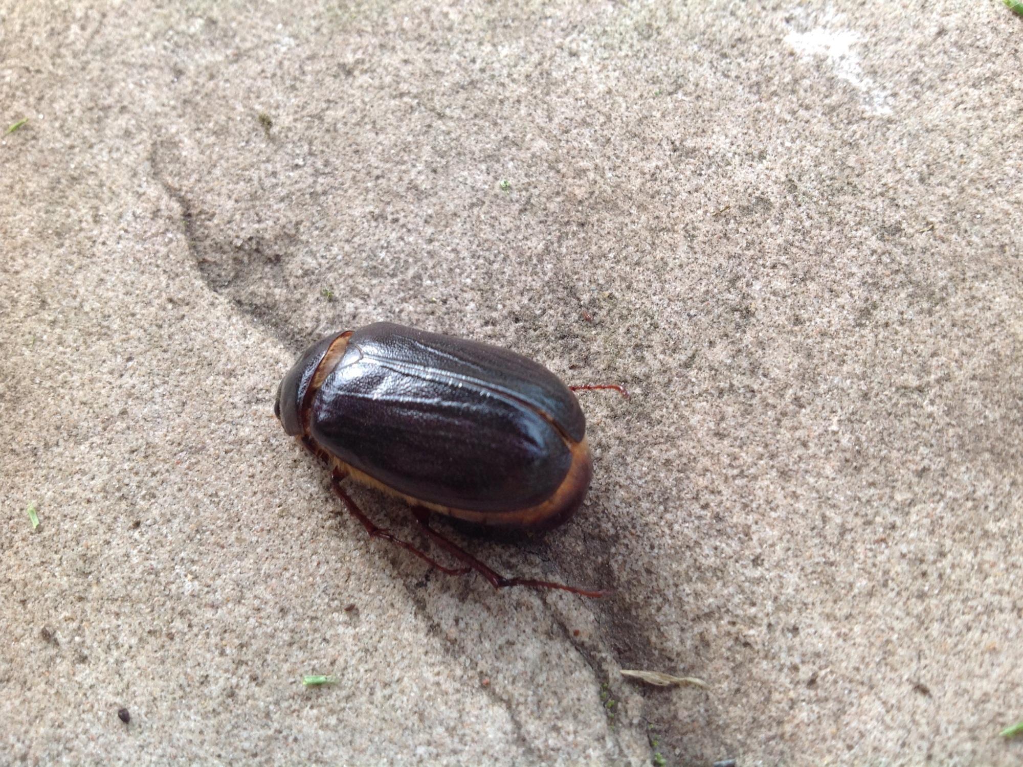 Beetle .jpeg